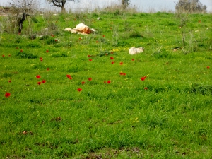 "Field of red ""buttercup"" Anemone flowers on hillside in Israel"