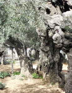"Present day olive tree in Garden of Gethsemane which means ""pressed""."