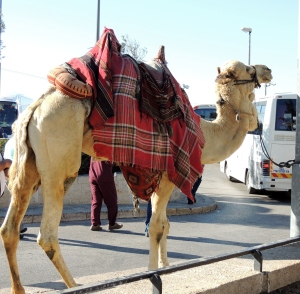 Hard working - burden-bare Camel