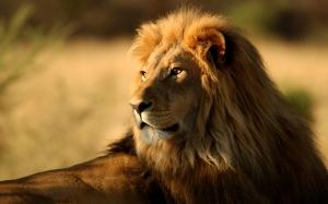 29453_lion